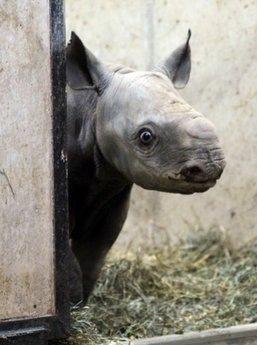 Zoo Baby Rhino